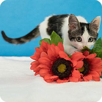 Domestic Shorthair Kitten for adoption in Houston, Texas - Pickles