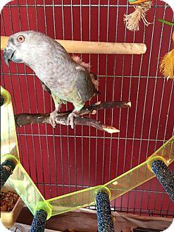 Poicephalus (including Senegal and Meyer's) for adoption in Sylmar, California - Tika