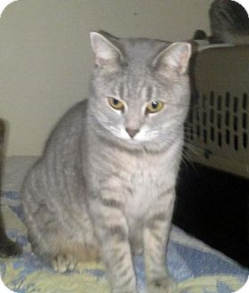 Domestic Shorthair Cat for adoption in Harrisonburg, Virginia - Missy