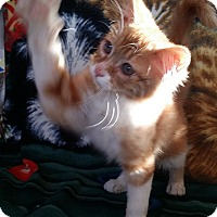 Adopt A Pet :: Harrison - Palmdale, CA