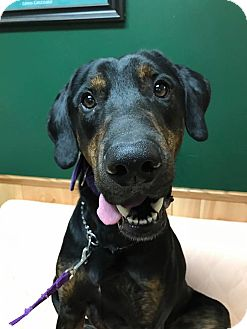 Labrador Retriever Mix Dog for adoption in Maryville, Missouri - Rusty