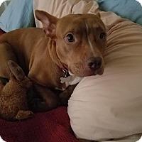 Adopt A Pet :: Cinnamon - Charlotte, NC