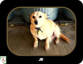 Chihuahua Mix Dog for adoption in Eddy, Texas - JD