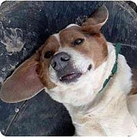 Adopt A Pet :: Blu - Harrison, AR