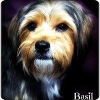 Adopt A Pet :: Basil - Pascagoula, MS