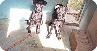 Labrador Retriever/Pit Bull Terrier Mix Dog for adoption in Blue Bell, Pennsylvania - Yappy Hour Regulars