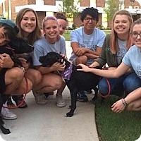 Labrador Retriever Mix Puppy for adoption in Tahlequah, Oklahoma - Melania&Michelle