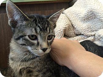 Domestic Shorthair Kitten for adoption in University Park, Illinois - Charlie Bucket