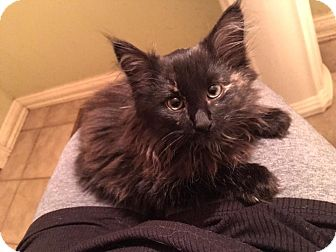 Domestic Longhair Kitten for adoption in Clarkson, Kentucky - Sparkles