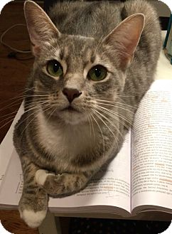 Domestic Shorthair Cat for adoption in Los Angeles, California - Diana