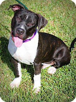 Terrier (Unknown Type, Medium) Mix Puppy for adoption in Ft. Lauderdale, Florida - Dexter