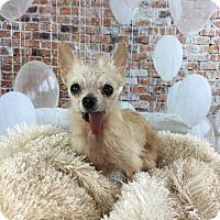 Adopt A Pet :: Lil Bit - Dallas, TX