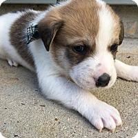 Adopt A Pet :: Almond - Seahurst, WA