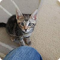 Adopt A Pet :: Blade - Hollywood, FL
