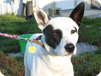 Dalmatian/German Shepherd Dog Mix Dog for adoption in Indianapolis, Indiana - Sheila