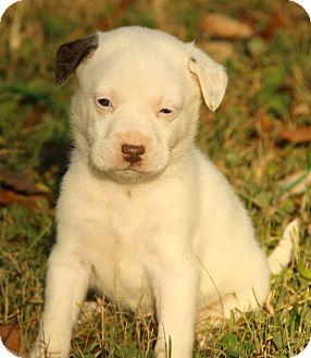 Boxer/Dalmatian Mix Puppy for adoption in Washington, D.C. - Amy