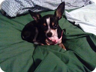 Chihuahua Dog for adoption in Litchfield Park, Arizona - Bitsie - Only $75 adoption!
