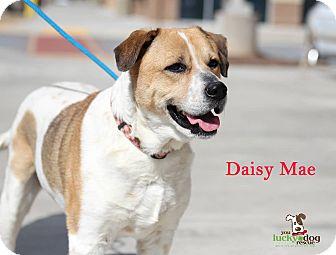 Labrador Retriever/Hound (Unknown Type) Mix Dog for adoption in Alpharetta, Georgia - Daisy Mae