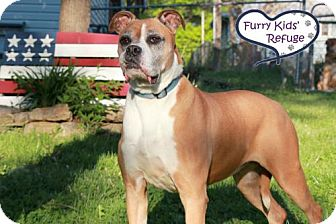 Boxer/Pit Bull Terrier Mix Dog for adoption in Lee's Summit, Missouri - Layla Rose