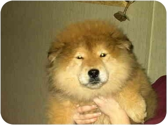 Chow Chow/Husky Mix Puppy for adoption in Lyman, South Carolina - Chusky(adopted)