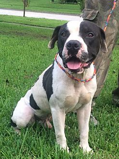 American Pit Bull Terrier Mix Dog for adoption in Slidell, Louisiana - Tugboat
