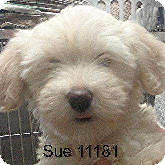 Cockapoo Puppy for adoption in Greencastle, North Carolina - Sue