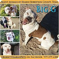Adopt A Pet :: Big G - Hearne, TX