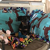 Dachshund/Chihuahua Mix Dog for adoption in York, South Carolina - Zippie