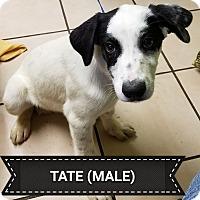 Adopt A Pet :: Tate - Joplin, MO