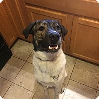 Adopt A Pet :: Moose - Manhattan, KS