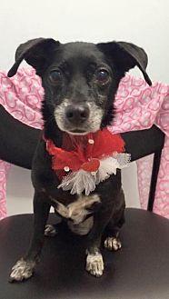 Dachshund Dog for adoption in Weston, Florida - Precious