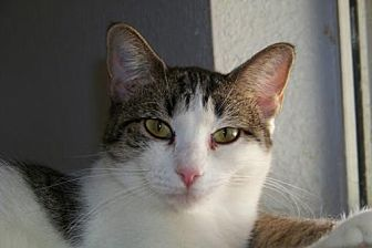 American Shorthair Cat for adoption in Glendale, Arizona - Taco