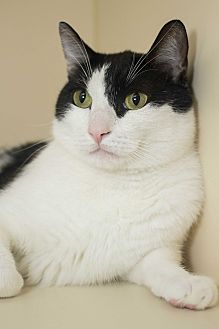 Domestic Shorthair Cat for adoption in Los Angeles, California - Jersey