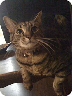 Domestic Shorthair Cat for adoption in Baltimore, Maryland - LOU - COURTESY POST