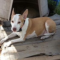 Bull Terrier Mix Dog for adoption in Kingsland, Texas - Bisquet