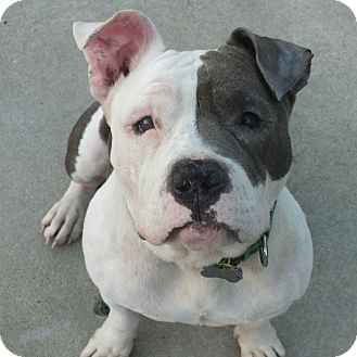 Pit Bull Terrier/English Bulldog Mix Dog for adoption in Minneapolis, Minnesota - Squishy
