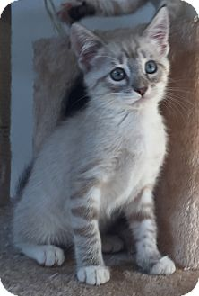 Siamese Kitten for adoption in Cerritos, California - Aspen