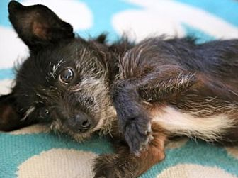 Terrier (Unknown Type, Medium)/Chihuahua Mix Dog for adoption in Dana Point, California - Ziggy