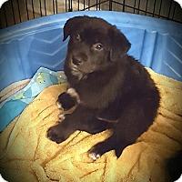 Adopt A Pet :: Harvey - LITTLETON, CO