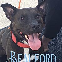 Adopt A Pet :: Beauford - Cheney, KS