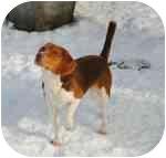 Beagle Puppy for adoption in cedar grove, Indiana - Auggie