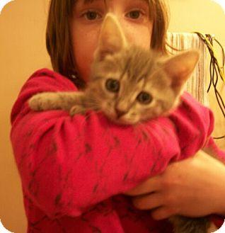 Domestic Shorthair Kitten for adoption in Reston, Virginia - Bobby