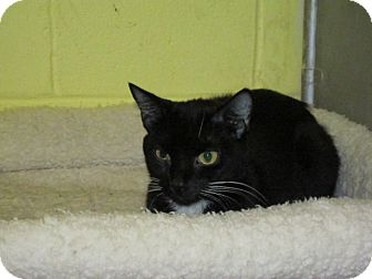 Domestic Shorthair Cat for adoption in Southbury, Connecticut - Ebony