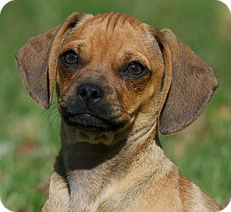 Pug/Dachshund Mix Puppy for adoption in Providence, Rhode Island - Abby Rose