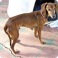 Adopt A Pet :: Daddy Longlegs - San Jose, CA