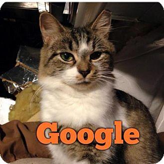 Domestic Mediumhair Cat for adoption in Pendleton, New York - Google