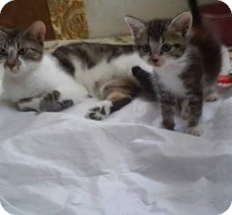 Domestic Shorthair Cat for adoption in Ocala, Florida - Daphiny