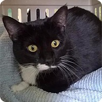 Domestic Shorthair Cat for adoption in Freeport, New York - Pip Squeak