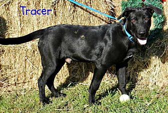 Labrador Retriever Mix Dog for adoption in Lawrenceburg, Tennessee - Tracer