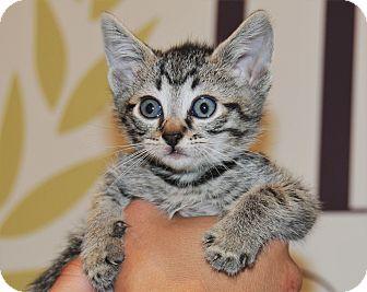 Domestic Mediumhair Kitten for adoption in Agoura Hills, California - Aladdin